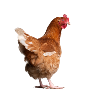 iStock_chicken.png